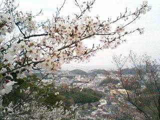 衣笠山の桜