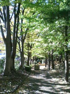 永山のイチョウ並木