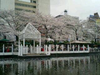 カナルの桜