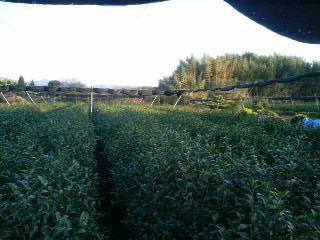 茶畑と竹林
