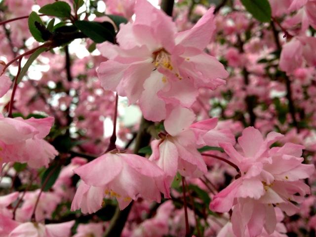 桜見納め?
